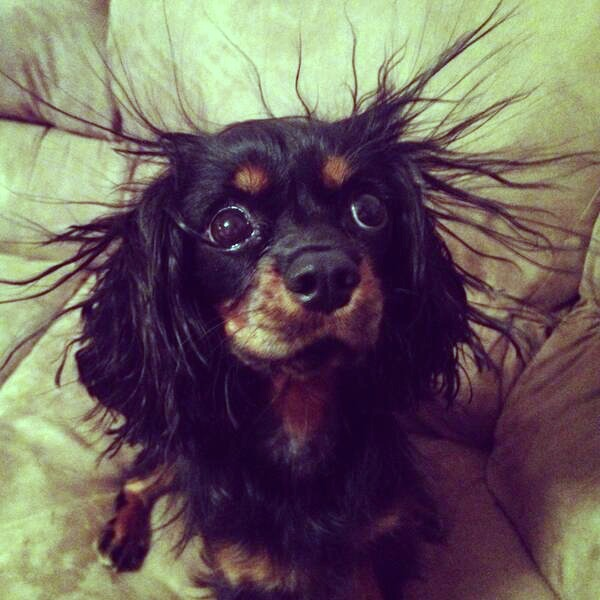 Cavalier King Charles Spaniel with static hair