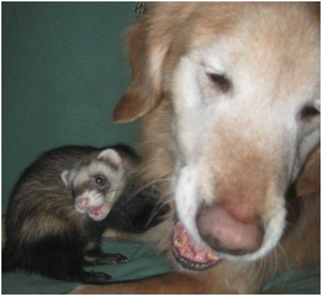 ferret and dog