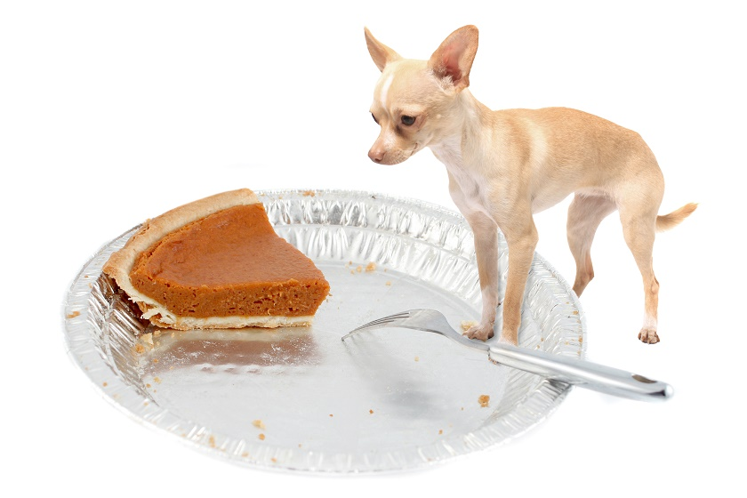 chihuahua and pumpkin pie