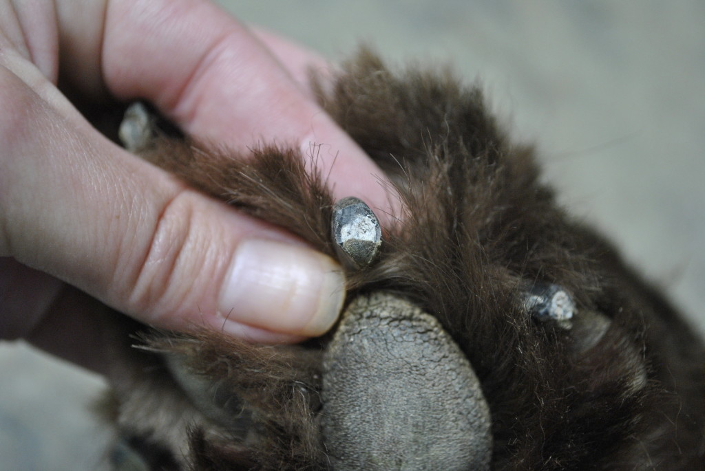 dogs nails
