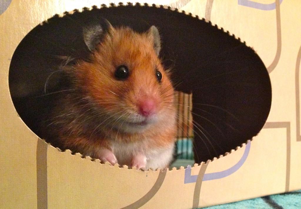 cute hamster in a box
