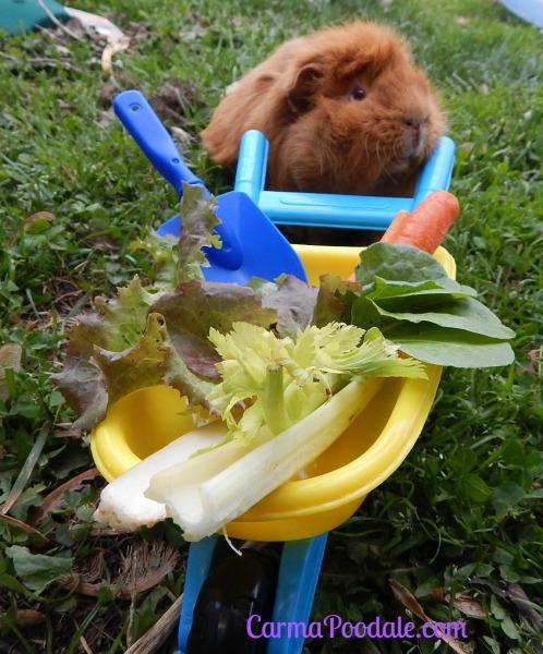 Guinea pig gardener
