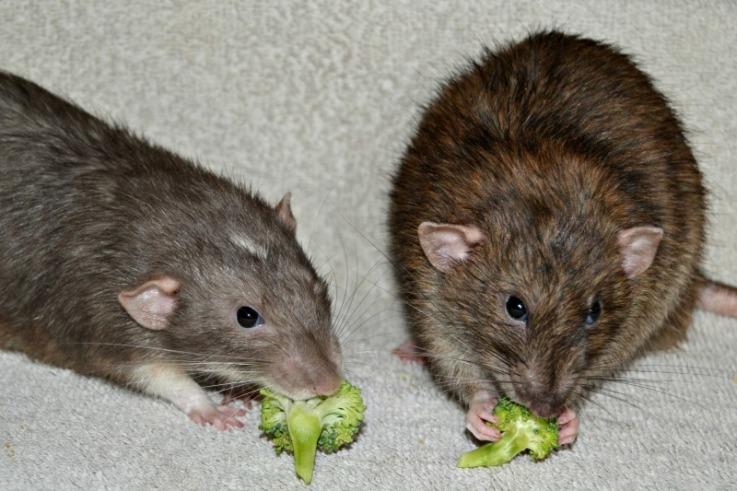 Rats eating broccoli