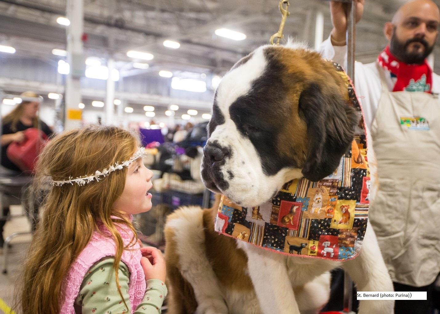 St Bernard from National Dog Show