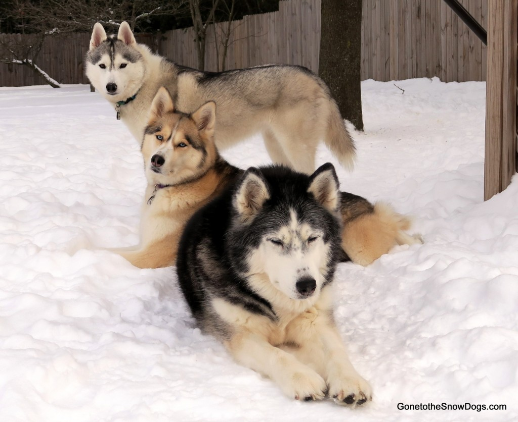 Gone to the Snow Dogs photo