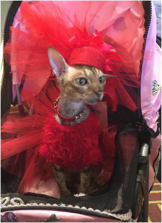 Coco the Couture Cat