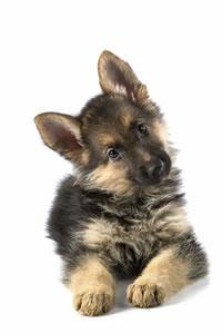 Shepard-puppy