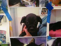 Onyx puppy's adoption photo