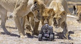 Lion-with-camera-buggy