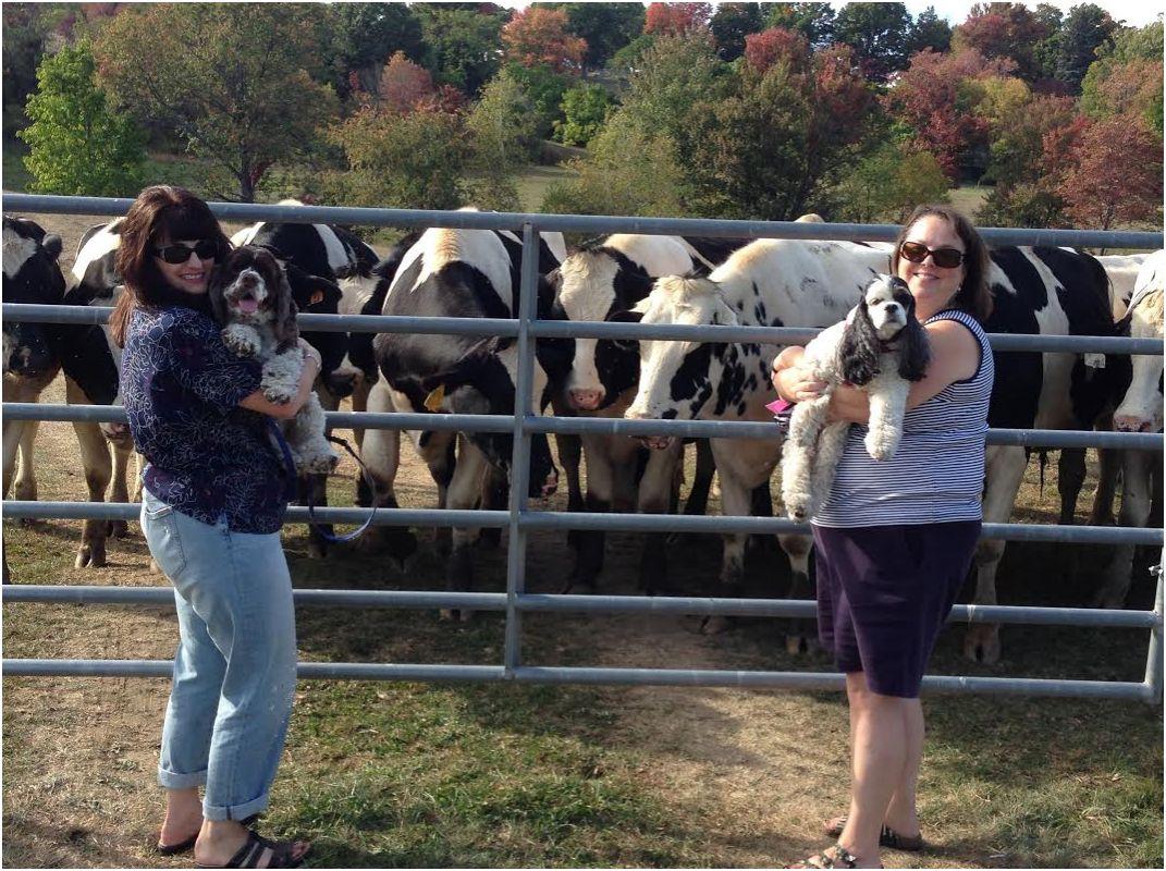 cows cockers