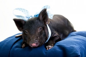 pot belly pig