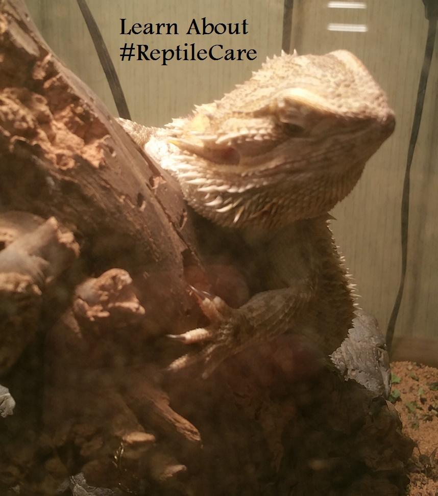 alice bearded dragon