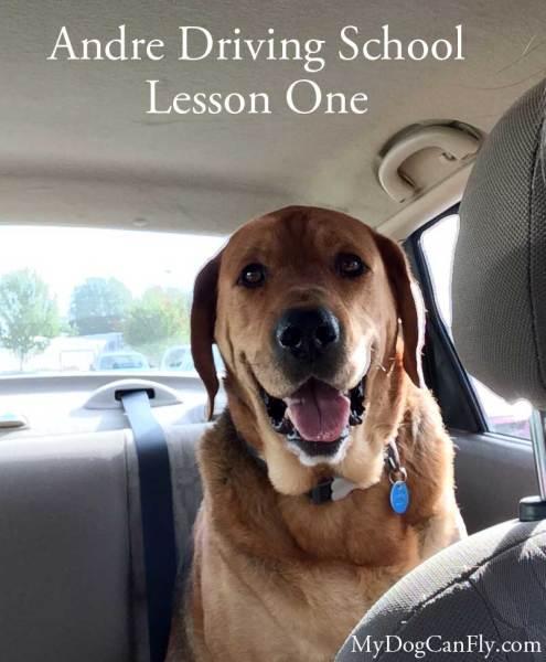 Cute dog driving a car
