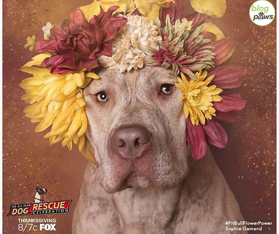 All Star Dog Rescue PitBull Flower Power