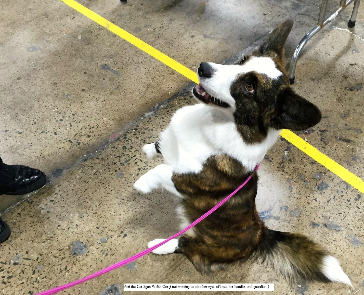 Cardigan Corgi National Dog Show
