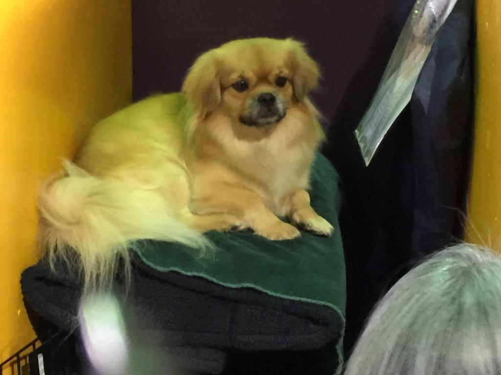 Dog at Westminster
