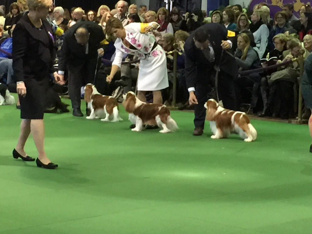 Westminster dogs in ring
