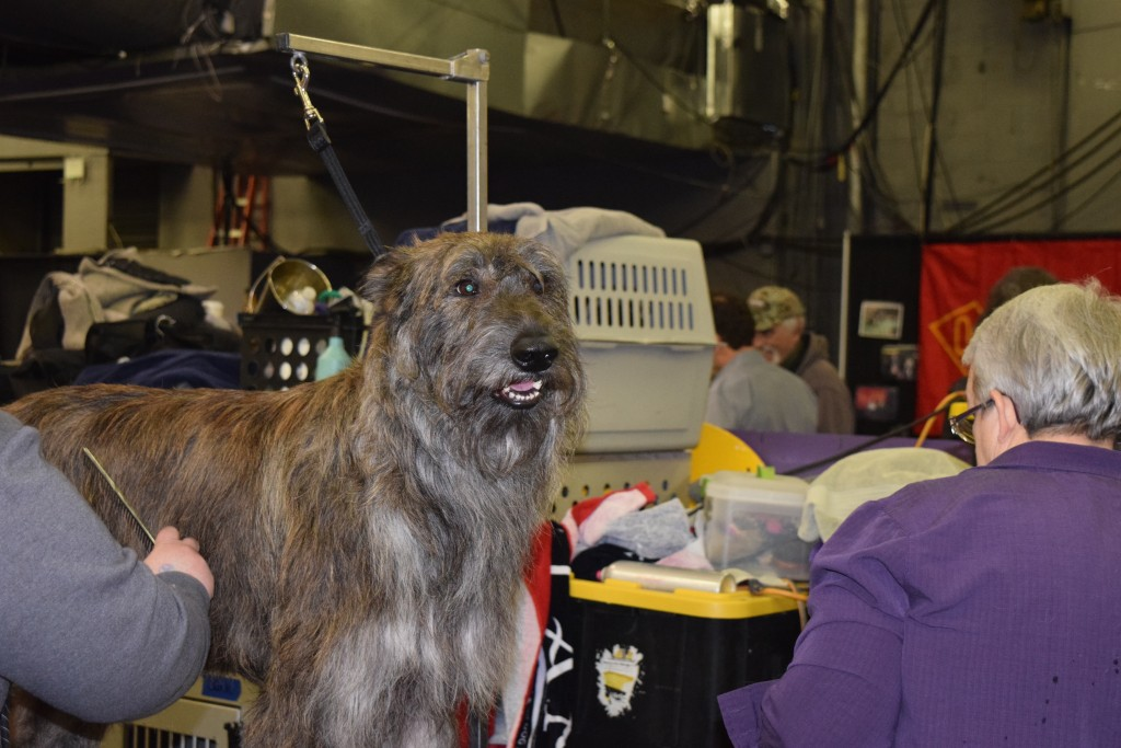 Westminster dog getting groomed