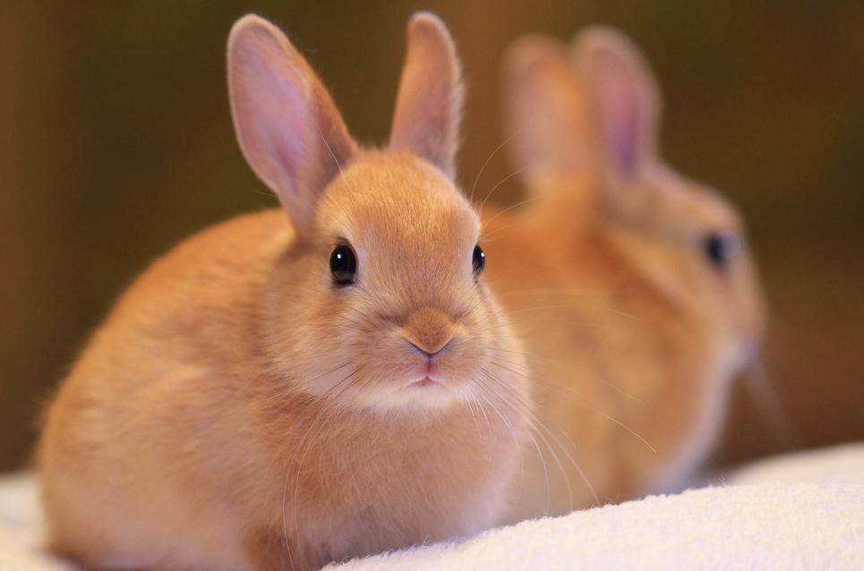 blonde-netherland-dwarf-rabbit