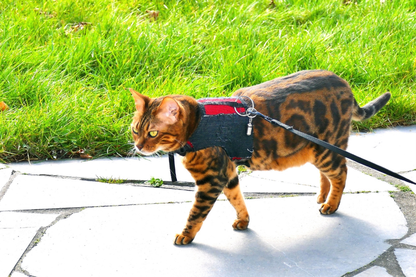 bengal cat walking on sidewalk on a leash with read harness on