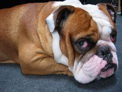 Beautiful-bulldog