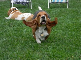 Submitted by Bassetmomma