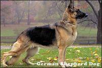 Germanshepard