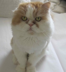 Romeo-the-white-cat