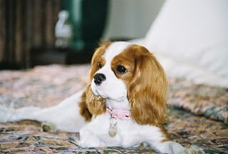 Indiana from Two Little Cavaliers