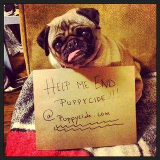 Pug against puppycide